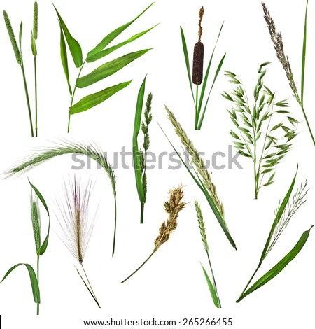 grass collection set of green reed plant close up isolated on white background - stock photo