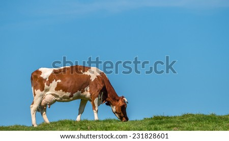 Grass fed cow grazing in field against blue sky - stock photo