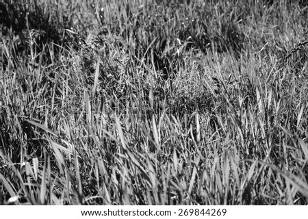 Grass field. Selective focus. Aged photo. Black and white. - stock photo