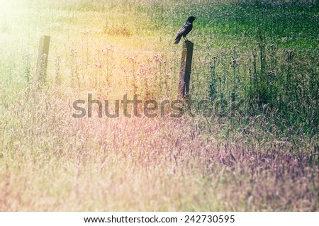 Grass field with raven sitting on an old wooden fence  - stock photo