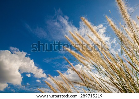 Grass flower and blue sky background