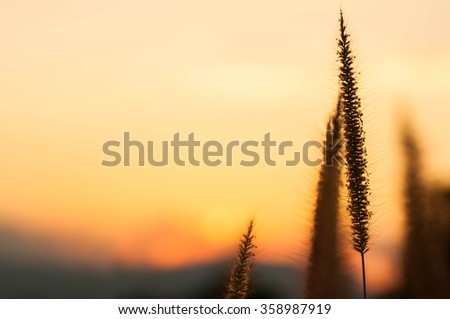 Grass flower and sunset backgrounds. - stock photo