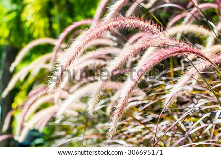Grass flower in nature, Thailand. - stock photo