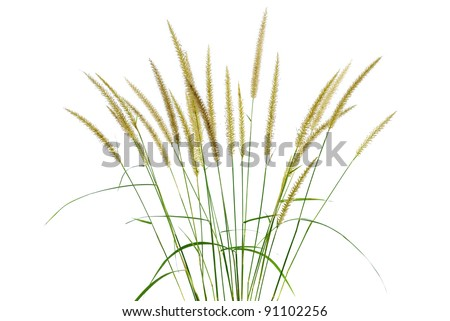 Grass flower isolated - stock photo