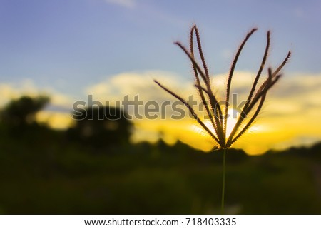 Grass flower with during sundown. Beauty landscape Summer concept