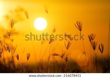 Grass flowers sunset - stock photo