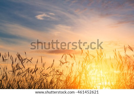 Grass flowers with sunset background.