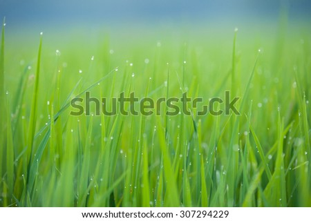 Grass. Fresh green spring grass with dew drops closeup.Soft Focus. Abstract Nature Background - stock photo