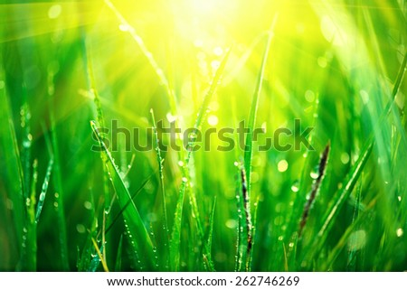 Grass. Fresh green spring grass with dew drops closeup. Sun. Soft Focus. Lawn, Abstract Nature Background  - stock photo