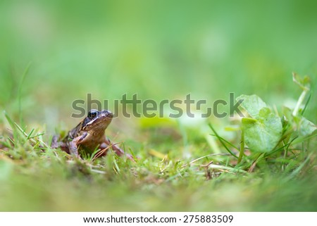 Grass frog - stock photo