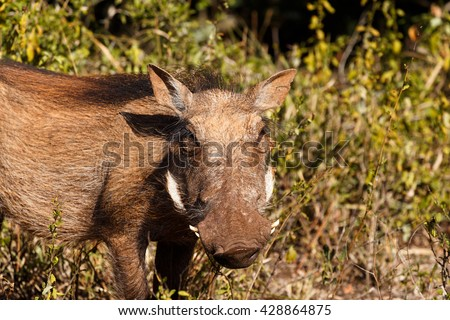 Grass Funn -Phacochoerus africanus - The common warthog is a wild member of the pig family found in grassland, savanna, and woodland in sub-Saharan Africa. - stock photo