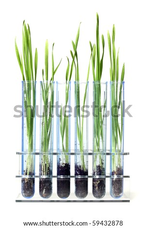 Grass growing in test tubes - stock photo
