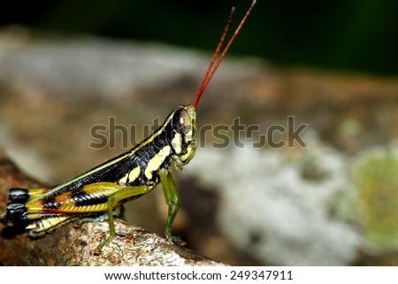 Grass hopper on leaf - stock photo