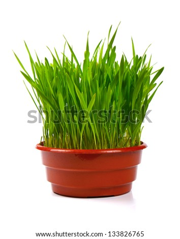 grass in flowerpot isolated on white