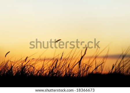 grass in sunset