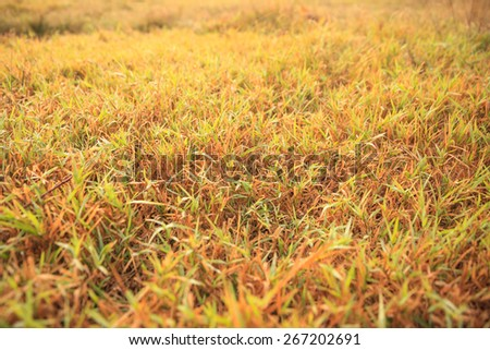 Grass in the meadow with summer nature background