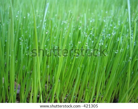 Grass in the morning with raindrops - stock photo