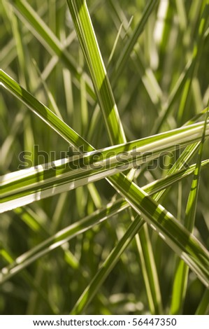 Grass (Miscanthus Strictus) - stock photo