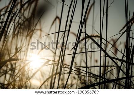 Grass Plumes At Sunrise - stock photo