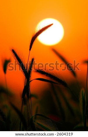Grass Silhouette Against Sunset, Close up of ripening rye ears. Shallow DOF. Secale cereale L. - stock photo
