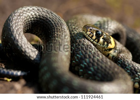 Grass-snake - stock photo