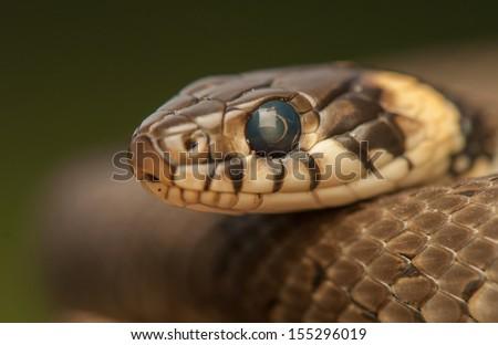 Grass snake - stock photo