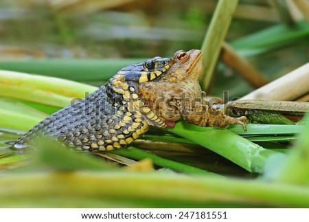 Grass snake and toad - stock photo