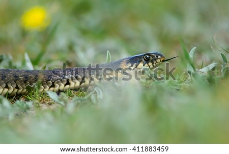 Grass Snake coiled in vibrant green grass - stock photo