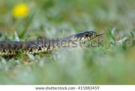 Grass Snake coiled in vibrant green grass/Grass Snake/Grass Snake - stock photo