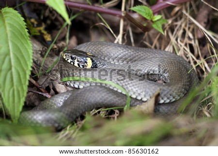 grass snake in forest environment closeup - stock photo