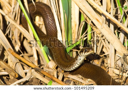 grass snake in swamp environment closeup / Natrix natrix - stock photo