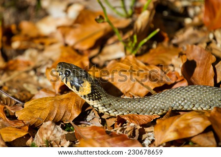 Grass snake in the autumn leaves - stock photo