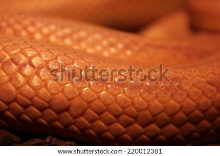 Grass Snake is molting - Ringelnatter - stock photo