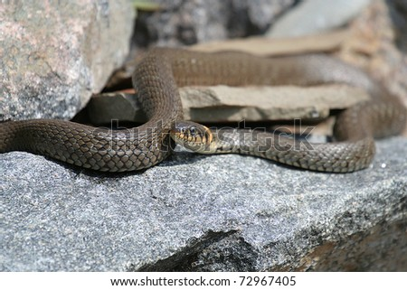 grass snake Lying on a stone - stock photo