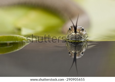 Grass snake moving across the surface of a lilly pad on a small pond - stock photo