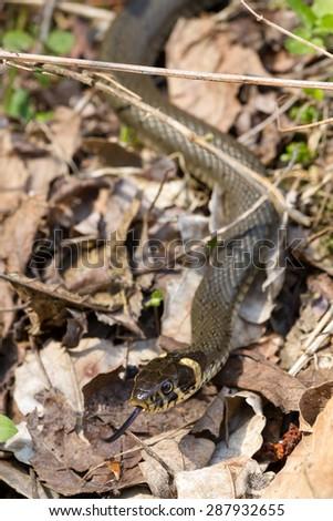 Grass snake - Natrix  - stock photo