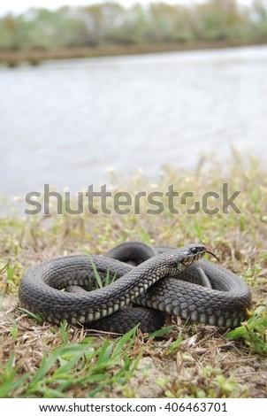 Grass snake (Natrix natrix) - stock photo