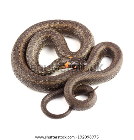 Grass snake (Natrix natrix) isolated on white  - stock photo