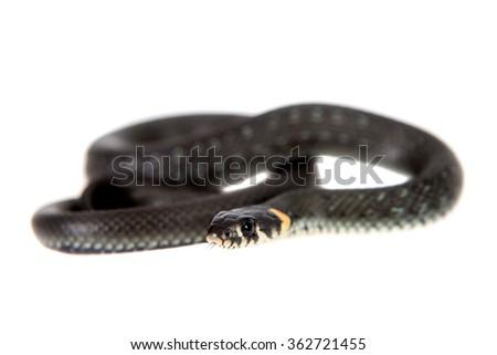 Grass Snake, Natrix natrix, isolated on white background - stock photo