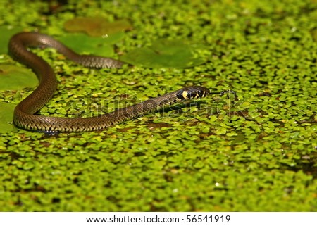 Grass snake (Natrix natrix) on pond with duckweed - stock photo