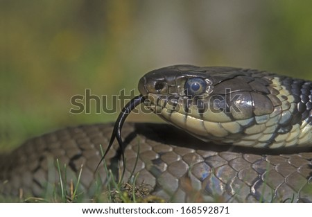 Grass snake, Natrix natrix, single reptile head shot - stock photo