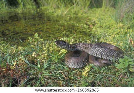 Grass snake, Natrix natrix, single reptile on grass - stock photo