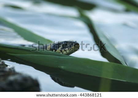 Grass Snake, Natrix natrix, wild conditions, Rye Island, Slovakia, Europe - stock photo