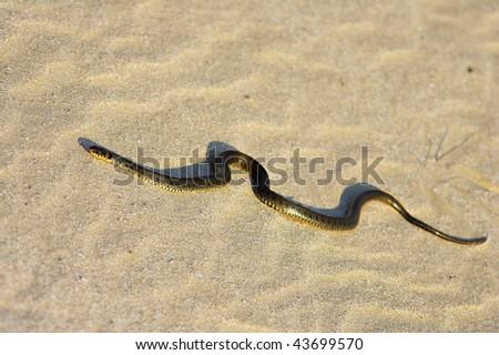 grass snake on sand dune - stock photo