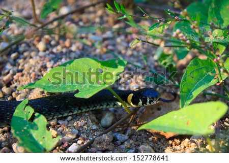 Grass snake trying to eat whole photographer. At once. - stock photo
