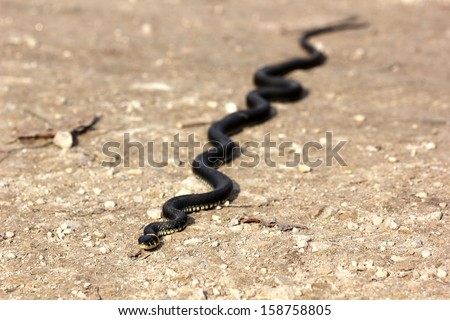 Grass snake with his tongue hanging out crawling on the ground, close up, selective focus - stock photo