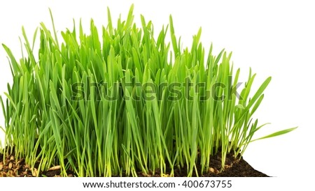 Grass start to grow isolated at white background - stock photo