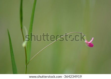 Grass vetchling (Lathyrus nissolia). A flower, stem and leaves of this pink member of the pea family (Fabaceae)