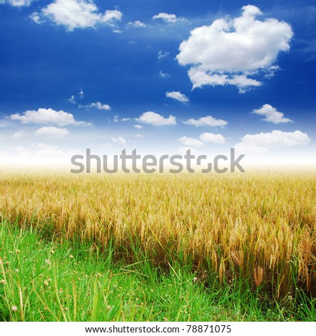 Grass way yellow field and blue sky background in Thailand
