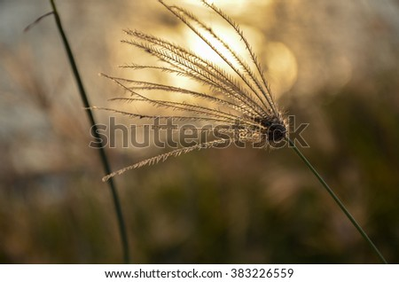 Grass with evening sunlight. out of focus image.